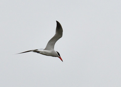 Caspian Tern - 6/76019 - Lake Hodges Bernardo Bay Trail