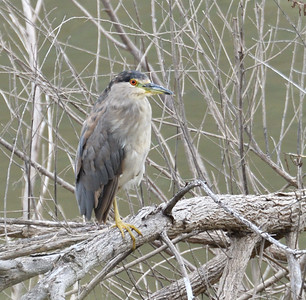 Black-Crowned Night Heron - 6/76019 - Lake Hodges Bernardo Bay Trail