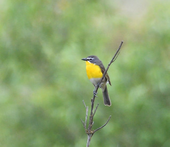 Yellow-breasted Chat - 6/76019 - Lake Hodges Bernardo Bay Trail