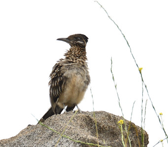 Roadrunner - 6/76019 - Lake Hodges Bernardo Bay Trail