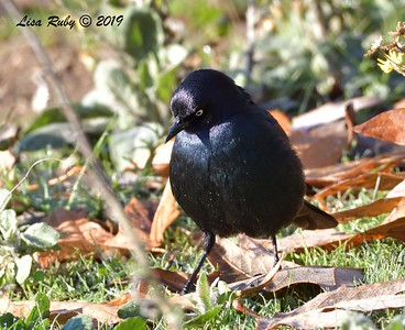 Brewer's Blackbird  - 12/28/2019 - Lake Wohlford area