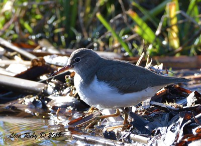 Spotted Sandpiper  - 12/28/2019 - Lake Wohlford area