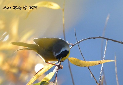 Common Yellowthroat  - 12/28/2019 - Lake Wohlford area