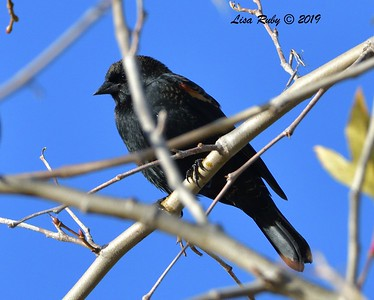 Red-winged Blackbird  - 12/28/2019 - Lake Wohlford area