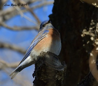 Western Bluebird  - 12/28/2019 - Lake Wohlford area