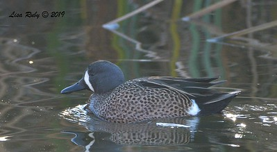 Blue-winged Teal  - 12/28/2019 - Lake Wohlford area