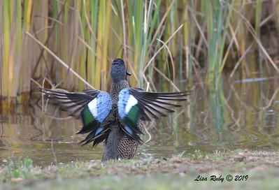 Blue-winged Teal - 12/22/2019 - Lake Wohlford near ranger station