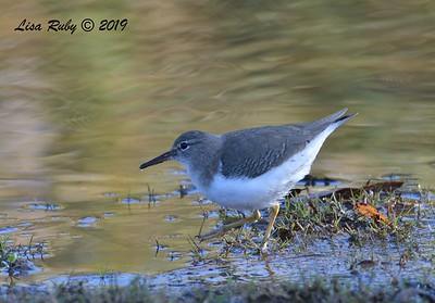 Spotted Sandpiper 12/15/2019 - Lake Wohlford near Ranger Station
