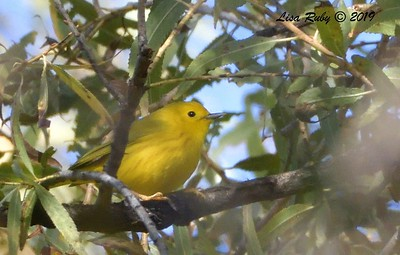 Yellow Warbler  - 12/01/2019 - Lindo Lake