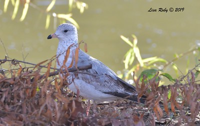 Immature Ring-billed Gull  - 12/01/2019 - Lindo Lake