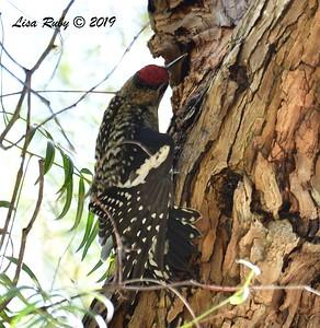 Yellow-bellied Sapsucker - 2/15/2019 - Lindo Lake