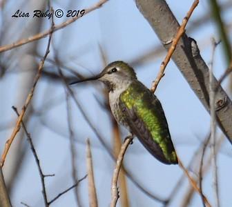 Anna's Hummingbird  - 2/15/2019 - Lindo Lake