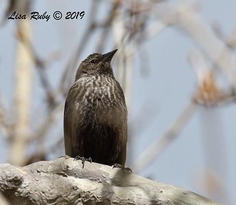 Tricolored Blackbird (female)  - 2/15/2019 - Lindo Lake