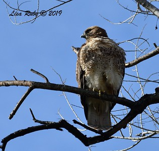Red-tailed Hawk  - 2/15/2019 - Lindo Lake