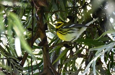 Townsend's Warbler  - 2/15/2019 - Lindo Lake
