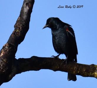 Tricolored Blackbird  - 2/15/2019 - Lindo Lake