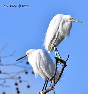 Snowy Egrets - 2/17/2019 - Lindo Lake