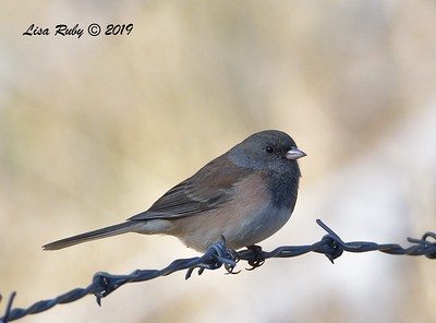 Dark-eyed Junco (Oregon) 11/16/2019 - Mt Laguna, Water Trough West Meadow