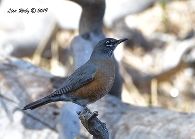 American Robin 11/16/2019 - Mt Laguna, Water Trough West Meadow