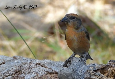 Red Crossbill 11/16/2019 - Mt Laguna, Water Trough West Meadow
