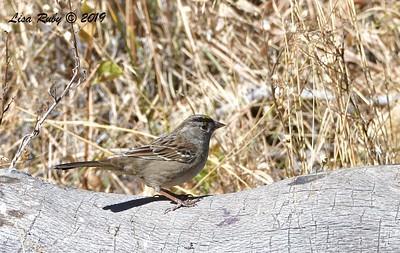 Golden-crowned Sparrow 11/16/2019 - Mt Laguna, Water Trough West Meadow