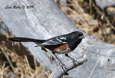 Spotted Towhee 11/16/2019 - Mt Laguna, Water Trough West Meadow