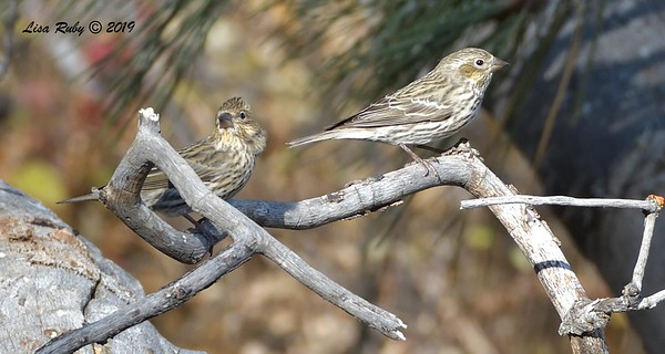 Cassin's Finches 11/16/2019 - Mt Laguna, Water Trough West Meadow