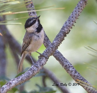 Mountain Chickadee  - 6/30/3019 - Stonewall Mine