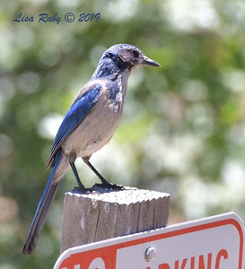 California Scrub Jay  - 6/30/3019 - Stonewall Mine