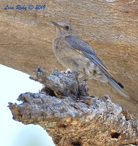 Western Bluebird  - 6/30/3019 - Stonewall Mine