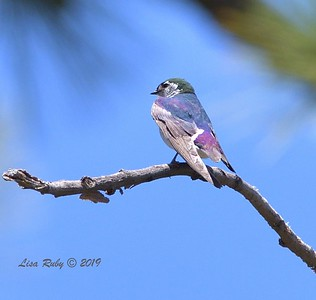 Violet-green Swallow  - 6/30/3019 - Stonewall Mine