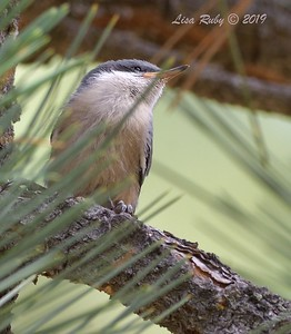 Pygmy Nuthatch  - 6/30/3019 - Stonewall Mine