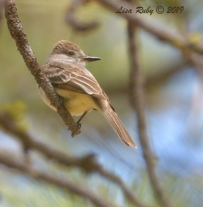 Ash-throated Flycatcher  - 6/30/3019 - Stonewall Mine