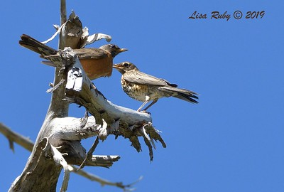 American Robins  - 6/30/3019 - Paso Picacho Campground