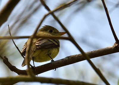 Pacific-slope Flycatcher  - 3/24/2019 - Penasquitos Canyon West