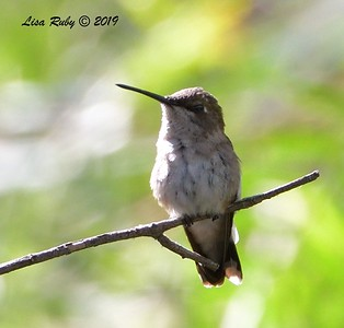 ? Hummingbird  - 7/19/2019 - Budwin Lane trail