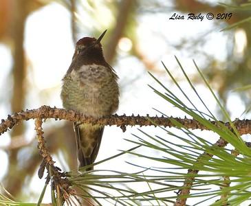 Anna's Hummingbird  - 7/19/2019 - Dearborn Memorial Park