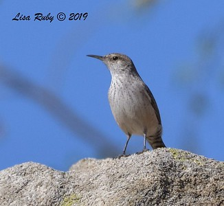 Rock Wren  - 11/10/2019 - Garden and Sycamore Canyon Roads