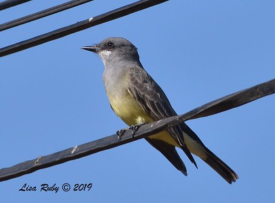 Cassin's Kingbird  - 11/10/2019 - Garden and Sycamore Canyon Roads