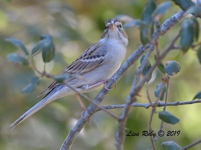 Chipping Sparrow  - 11/3/2019 - Old Poway Park/Aubrey Park