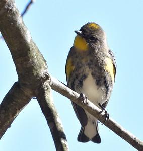 Yellow-rumped Warbler  - 11/3/2019 - Poway, Budwin Lane