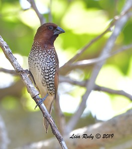 Scaly-breasted Munia  - 7/14/2019 - Poway Creek