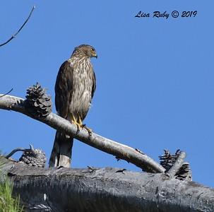 Cooper's Hawk  - 7/14/2019 - Poway Creek