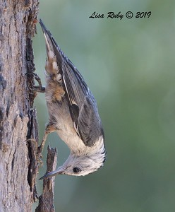White-breasted Nuthatch  - 7/14/2019 - Poway Creek