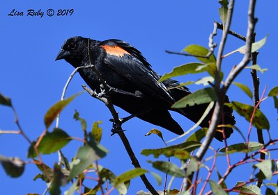 Red-winged Blackbird - 5/24/2019 - Poway Pond