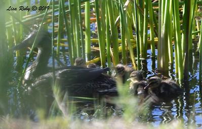 Mallard Family - 5/24/2019 - Poway Pond