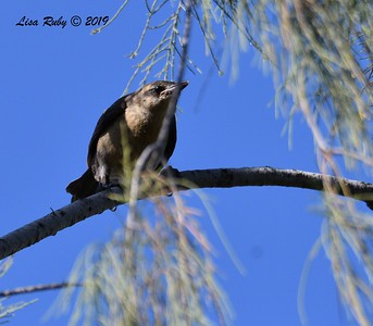 Juvenile Great-tailed Grackle - 5/24/2019 - Poway Pond