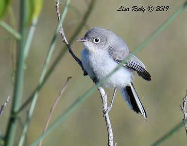 Juvenile Blue-gray Gnatcatcher - 5/24/2019 - Sabre Springs Hill