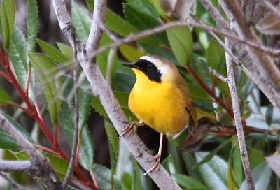 Common Yellowthroat  - 4/23/2019 - Poway Pond
