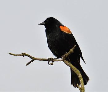 Red-winged Blackbird male  - 4/24/2019 - Poway Pond